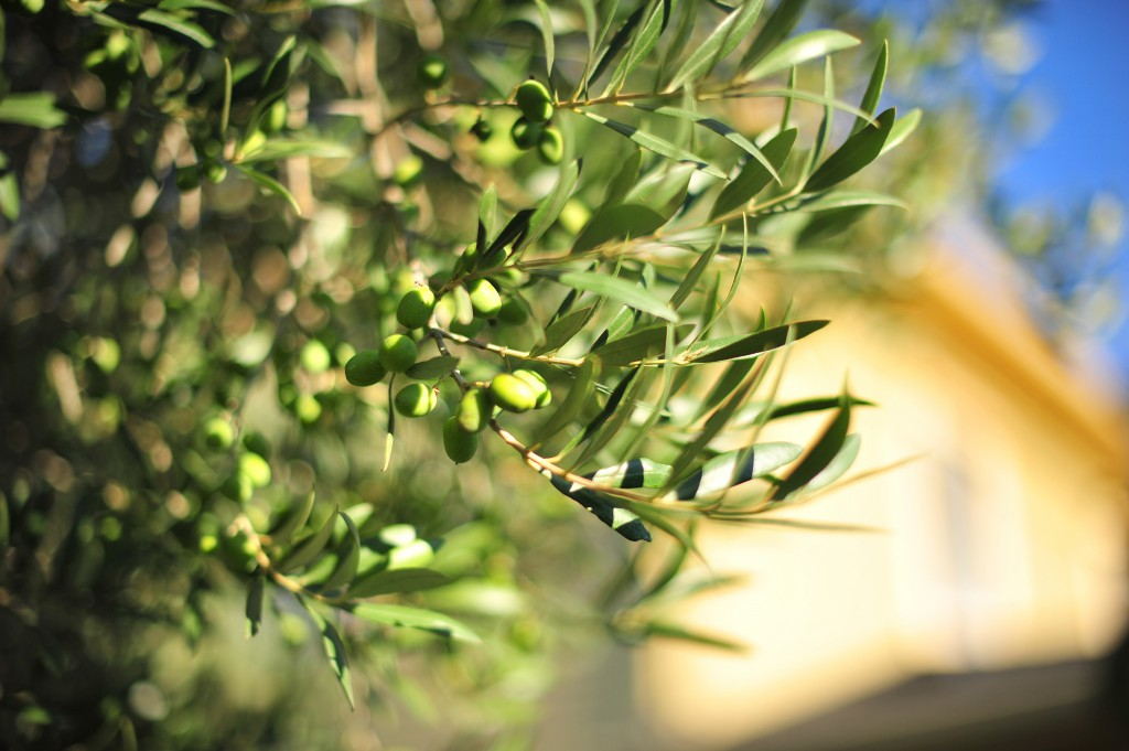 We harvest olives for our SHF olive oil in late October.