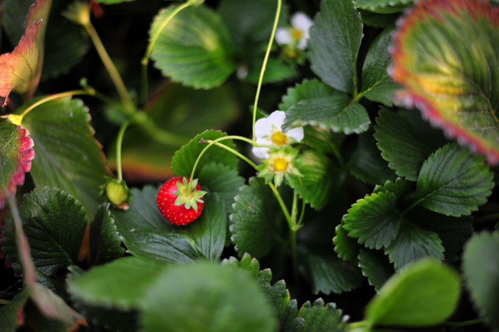 First strawberry of the season. Ours are small and sweet.